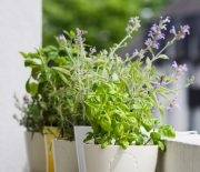 Potted typical italian aromatic herbs at balcony: basil, thyme, sage, rosemary. Selective focus on basil.